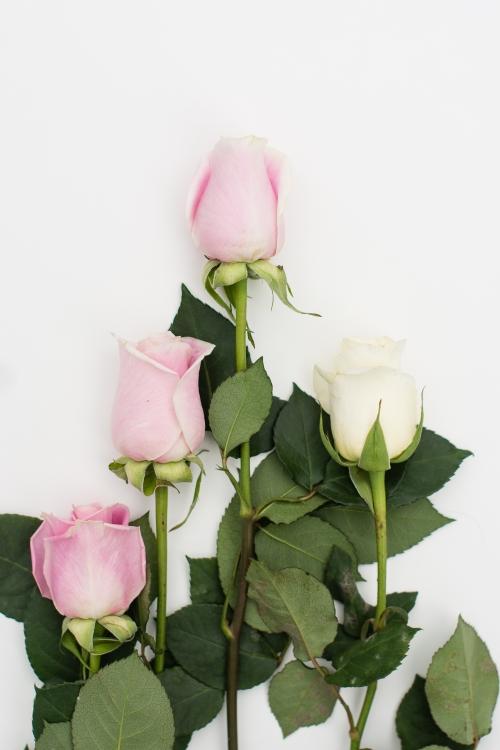 roses-web-5