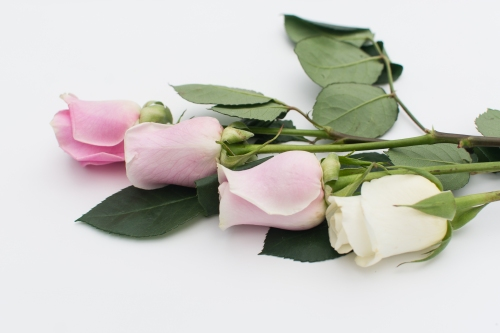 roses-web-6