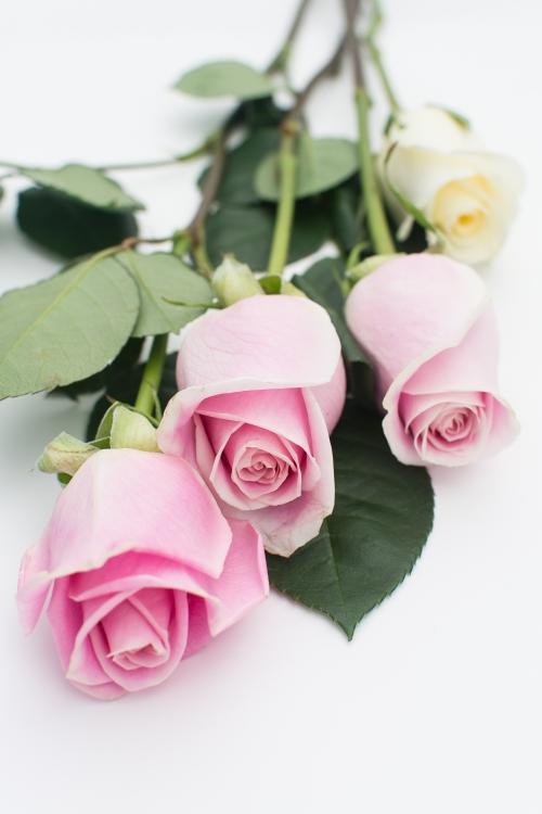 roses-web-7